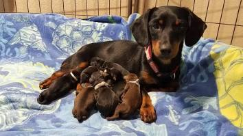 LITTER DOXIE